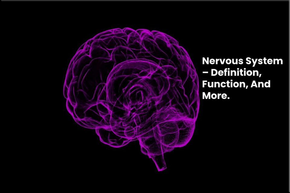 Nervous System – Definition, Function, And More.