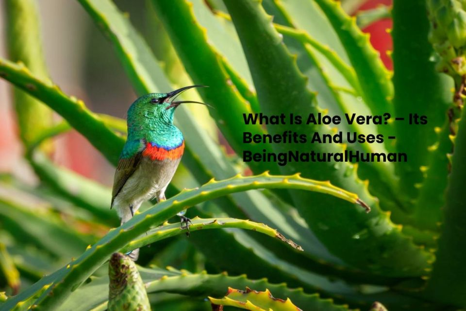 What Is Aloe Vera? – Its Benefits And Uses - BeingNaturalHuman
