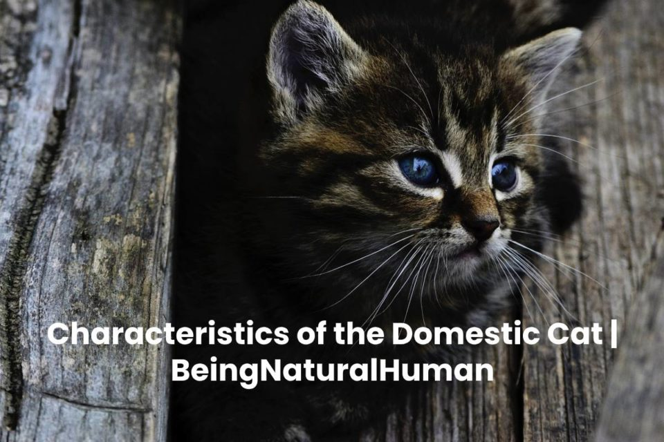 Characteristics of the Domestic Cat | BeingNaturalHuman