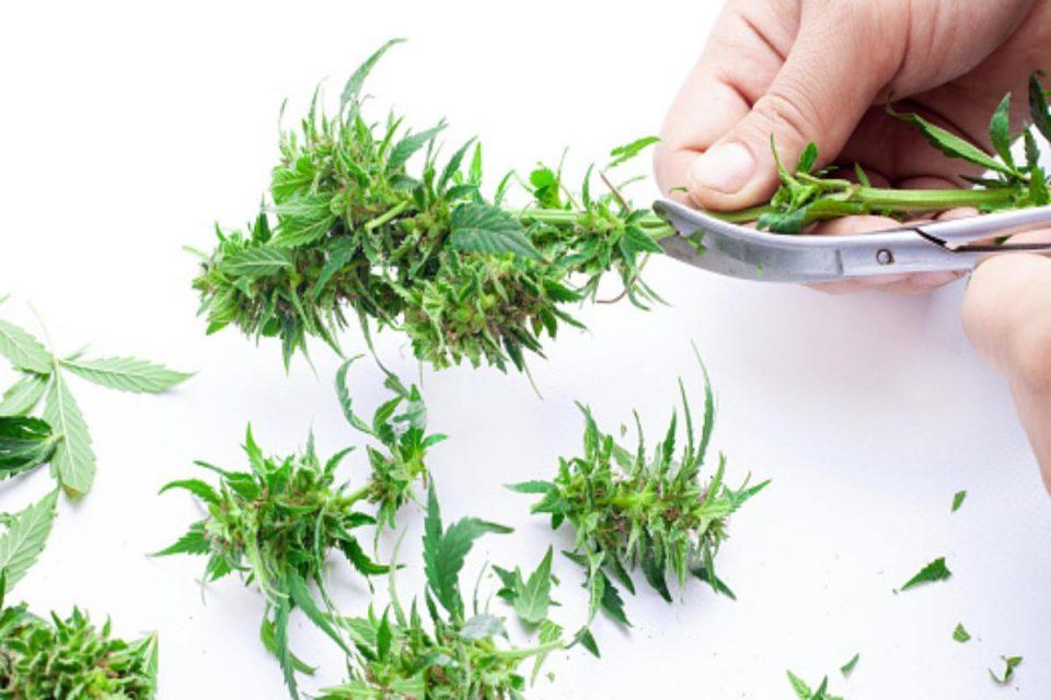 Marijuana Autoflowers